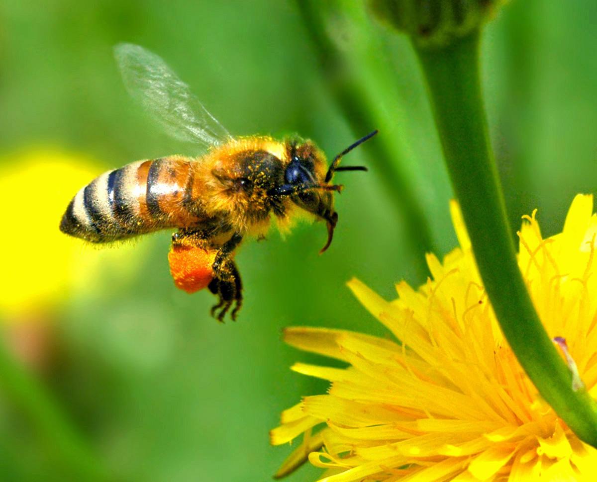 A bee flying toward a bright yellow dandelion flower.